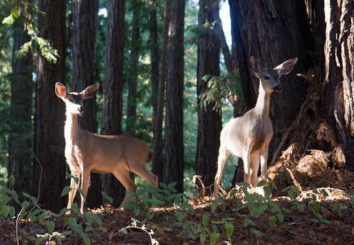 UCSC deer