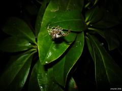 (arlspider) Tags: rain night araneusdiadematus gardenspider spidersilk crossspider diademspider leafretreat