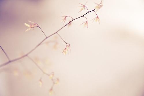 orchilette