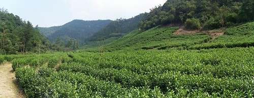 Panoramic view of secluded tea farm near Anji,China