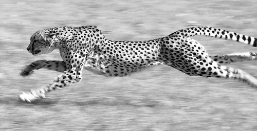 Động vật trên cạn nào chạy nhanh nhất, chậm nhất?