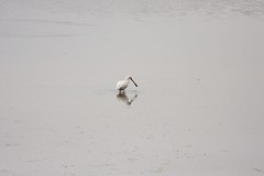 Langs de Ijsel, Lepelaar en Ooievaar (F.d.W.) Tags: holland netherlands dutch canon landscape europa europe nederland eeg eec lepelaar bibble ijsel fdw bibblepro canoneos40d canon40d fransdewit