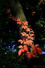 Autumn luau (lynne_b) Tags: park autumn trees red sky color fall nature leaves illinois october midwest seasons grove branches vine trunk limbs forestpreserve fourthplace explored mywinners mywinner