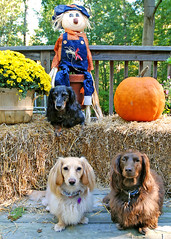 Three dogs and a scarecrow (Doxieone) Tags: dog fall halloween pumpkin dachshund 2008 halloweenfall2008set