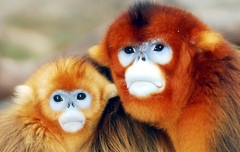 Golden monkey Lover (floridapfe) Tags: two nature animal zoo monkey golden nikon korea lover everland  goldenmonkey naturesfinest d80 specanimal