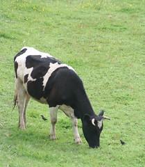 Grandes y Chicos (JUAN CARLOS LYNER) Tags: cow vaka