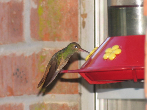 CrabAppleLane female rufous hummingbird - October 27, 2008