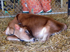 100 Things to see at the fair outtake: Sleeping calf