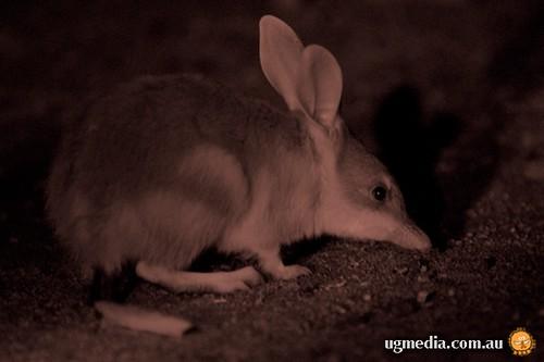 Bilby (Lagotis macrotis)