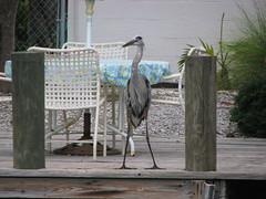 """HERONS ARE TOURIST FRIENDLY ON """"ANNA MARIA ISLAND"""" FLORIDA (roberthuffstutter) Tags: proud standing friendly waterfowl herons feathered annamariaisland huffstutter"""