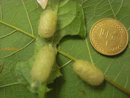 你拍攝的 蜂蛹大小。