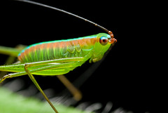 DSC_0279 copy (Kurt (Hock Ping Guek) orionmystery.blogspot.com) Tags: macro closeup bug insect colorful katydid frim bushcricket vosplusbellesphotos