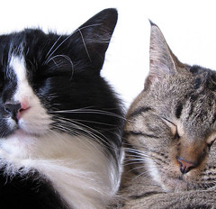 Close Kitties! (veganmichele) Tags: friends sleeping rescue pet love face animal cat nose tabby kitty whiskers tuxedo spca feral catnipaddicts