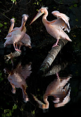 6 Pink Pelicans (Philipp Klinger Photography) Tags: pink reflection tree green bird eye water animal germany deutschland zoo leaf wings log europa europe hessen frankfurt beak feather pelican 1001nights philipp spiegelung hesse klinger aplusphoto dcdead