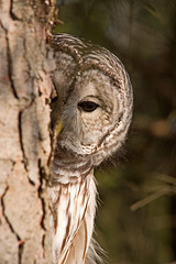 Shy One (peterkelly) Tags: ontario canada tree bird pine digital canadian bark trunk northamerica barredowl birdwatcher badenoch campbellville platinumphoto avianexcellence mountsbergconservationarea