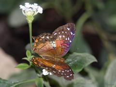 Butterfly - Schmetterling (Elisa1963  nature art peace) Tags: vienna summer butterfly schmetterlinghaus kunstplatzlinternational kunstplatzinternational beautifulmonsters dragondaggerphoto
