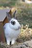 hobo (1600 Squirrels) Tags: california usa rabbit fauna mammal zoo oakland photo lenstagged 1600squirrels eastbay sfbayarea nocal captive alamedacounty xsi 2x3 canon70300f456 450d
