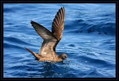 Wedge-tailed Shearwater, February Wollongong Pelagic, 28.2.09c (Tobias Hayashi Photography) Tags: ocean blue sea brown bird spread wings waves sitting australia nsw shearwater stretching wollongong wedgetailedshearwater puffinuspacificus wedgetailed sigma50500mmf463 canoneos40d procellariformes februarywollongongpelagic ardennapacificus