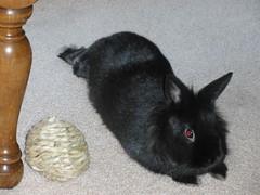 P3090091 (sotepetsenu) Tags: bunny ophelia