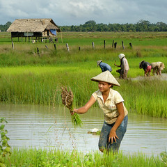 Rice farming in Laos (Bn) Tags: poverty topf50 bravo lowlands topf300 farmer agriculture topf100 hardwork topf200 weeding paddyfields harvesting topf400 paceoflife donkhong south