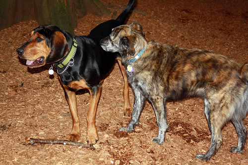 Pekoe's new friend, Ellie the Coon Hound.