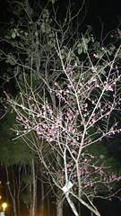 36.已有部份櫻花盛開