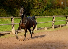 Trakehner Horse in motion