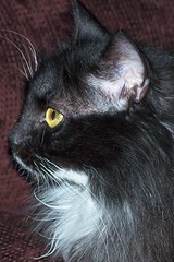 Contemplation (beverlythie) Tags: cat serious molly tuxedo thinking