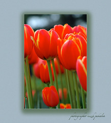 tulips (photographer nezih) Tags: flower nikond70 tulip florist bahe 105mm lale flickrcolour colorphotoaward superbmasterpiece flickrelite flowerwatcher overtheexcellence goldstaraward mailciler flickrestrellas
