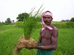 A tribal farmer in Jharkhand state of India holds up an SRI plant.
