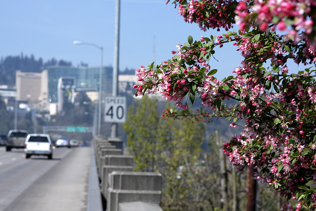 cherry blossoms, ross island bridge