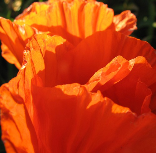 papery poppies