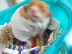 20080419-07 (kayako_) Tags: hamster pon