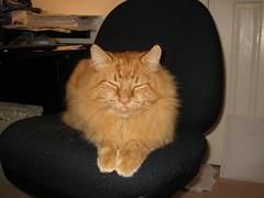 Little Sphinx・小さいスフィンクス (drayy) Tags: cat neko sphynx mainecoon fluffy ginger orange sleep sleepy sleeping 猫 思索的 thebiggestgroupwithonlycats oreengeness kittyschoice cc100 catnipaddicts cc200 cc300