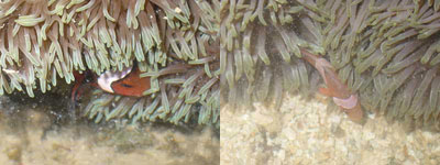 Fish3-Amphiprion ocellaris (Kusu, Hantu)
