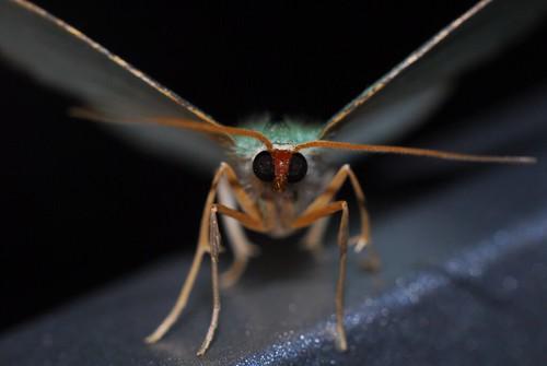Macro Moth~