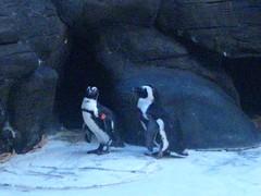 Penguins in Hawaii