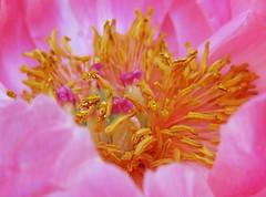 embedded (Darwin Bell) Tags: pink flower macro peony flowerotica fantasticflower 25faves