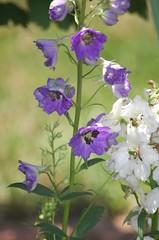(mrs. white) Tags: summer flower delphinium