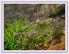 lavanda (Almudena Raya) Tags: flowers espaa flores valencia spain lila hdr chimenea lavanda morado abuelitos spagne