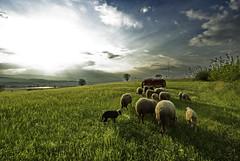 Βοσκή / Pasturage (Lefteris Zopidis) Tags: evzoni evzonoi villageevzonoi village χωριό εύζωνοι κιλκίσ σύνορα ελληνοσκοπιανικάσύνορα νομόσκιλκίσ kilkis ebzonoi ysplix top20greenish ευζώνοι borders sheep sheeps provato provata πρόβατο πρόβατα μακεδονία ελλάδα ελλάσ ήλιοσ σύννεφα αξιόσ ποταμόσ sun clouds axios river eyzonoi euzonoi green landscape pasturage βόσκηση animal animals afternoon greece hellas δύση zopidis lefteris ζωπίδησ λεφτέρησ ελευθέριοσ λευτέρησ matsikovon matsikovo ματσίκοβο ευζωνοι κιλκισ smallvillage zopidislefteris leyteris ζωπίδησλευτέρησ greekflicker φλίκερ φλίκερσ