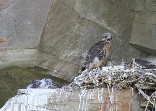 baby golden eagle pictures. hawk? or golden eagle?