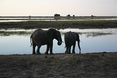 Pair of elephants near water hole at dusk