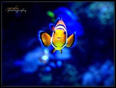 Nemo Returns (youneverknowphotography) Tags: california blue summer orange white fish beach water coral aquarium long tank nemo pacific stripes fin picnik 2007 returns g7