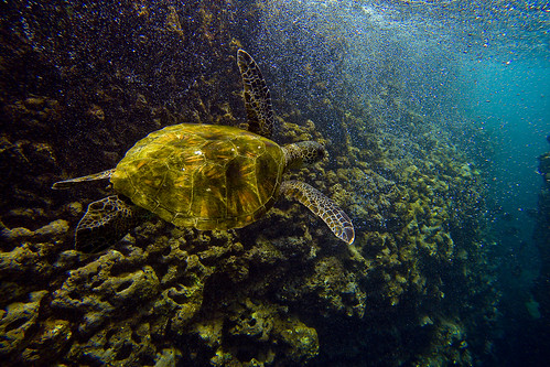 Hawaiian green sea turtle at Sharks Cove