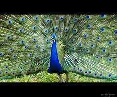 .Dance. (.krish.Tipirneni.) Tags: park green colors happy zoo spread dance dancing peacock hyderabad hpc rktnature