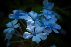 Unas flores azuladas ^^