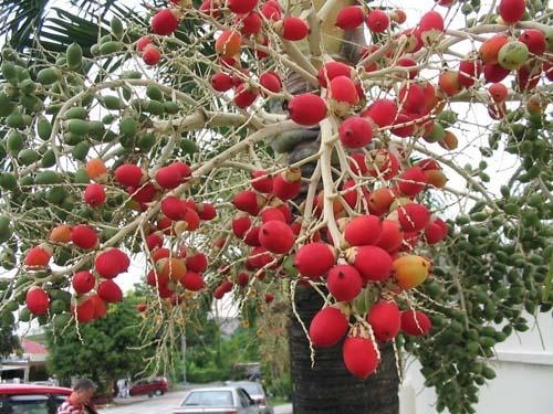 Unframed image of fruits of Veitchia merrillii (Christmas/Manila Palm)