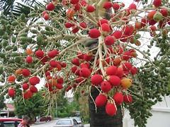 Fruits of Veitchia merrillii (Christmas/Manila Palm)