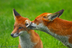 But I cleaned behind my ears!!! (law_keven) Tags: red fab england green animals ginger dof bokeh secret surrey fox critters foxes redfox cubism naturesfinest britishwildlifecentre bej golddragon abigfave platinumphoto anawesomeshot impressedbeauty diamondclassphotographer goldstaraward